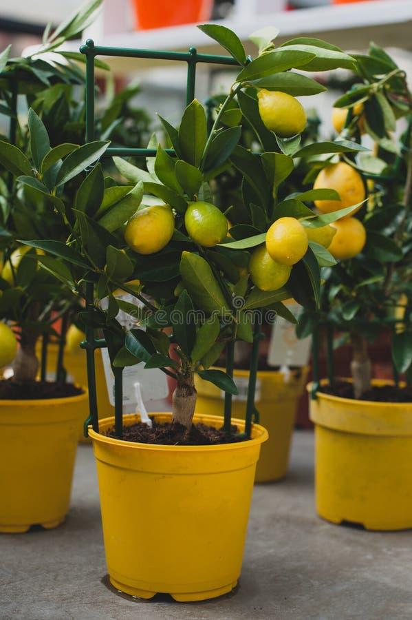 Híbrido do citrofortunella da árvore de Limequat do cal e do kumquat fotos de stock