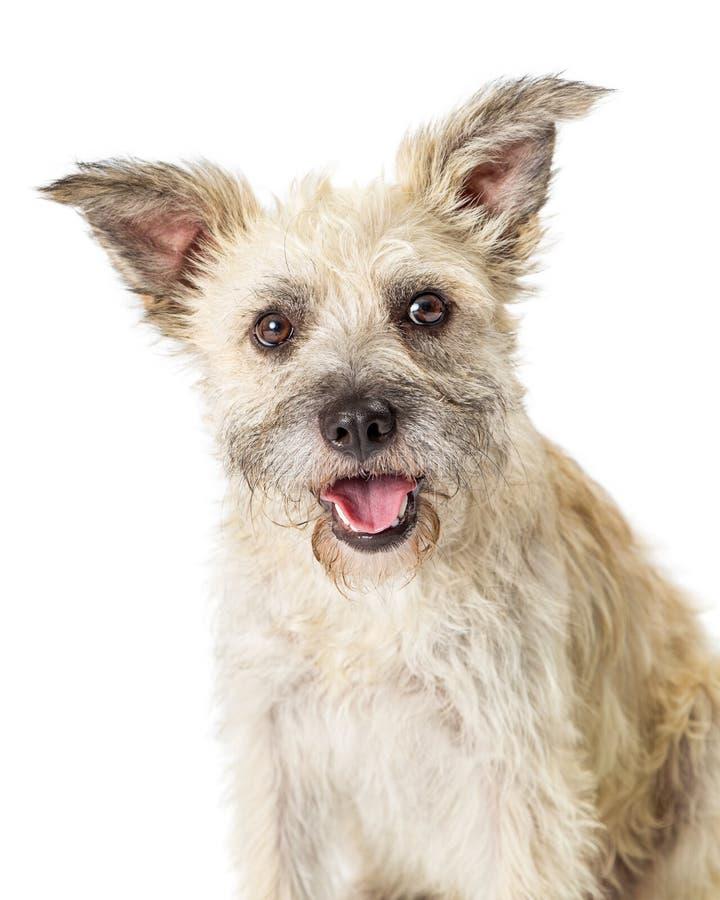 Híbrido feliz de Terrier del primer en blanco imágenes de archivo libres de regalías