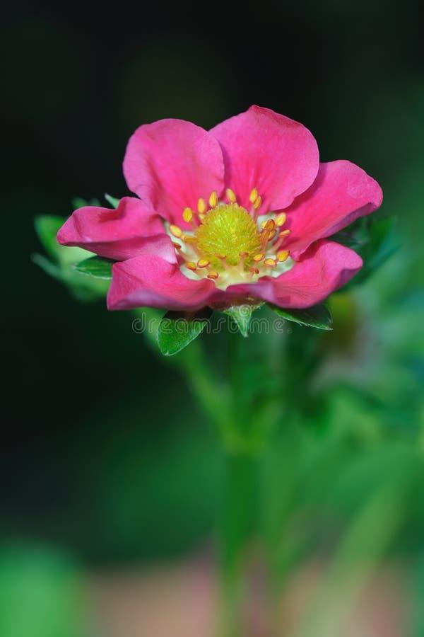 Híbrido floreciente de la fresa con la flor rosada fotos de archivo