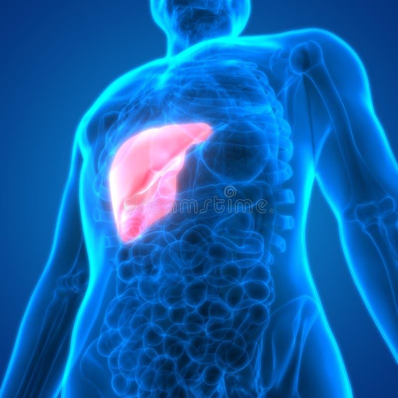 Hígado De La Anatomía De Los órganos Del Cuerpo Humano Stock de ...