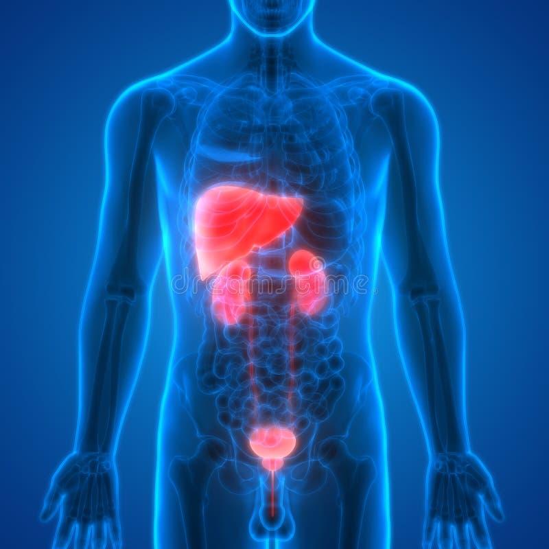 Hígado De Los órganos Del Cuerpo Humano Con Anatomía De Los Riñones ...