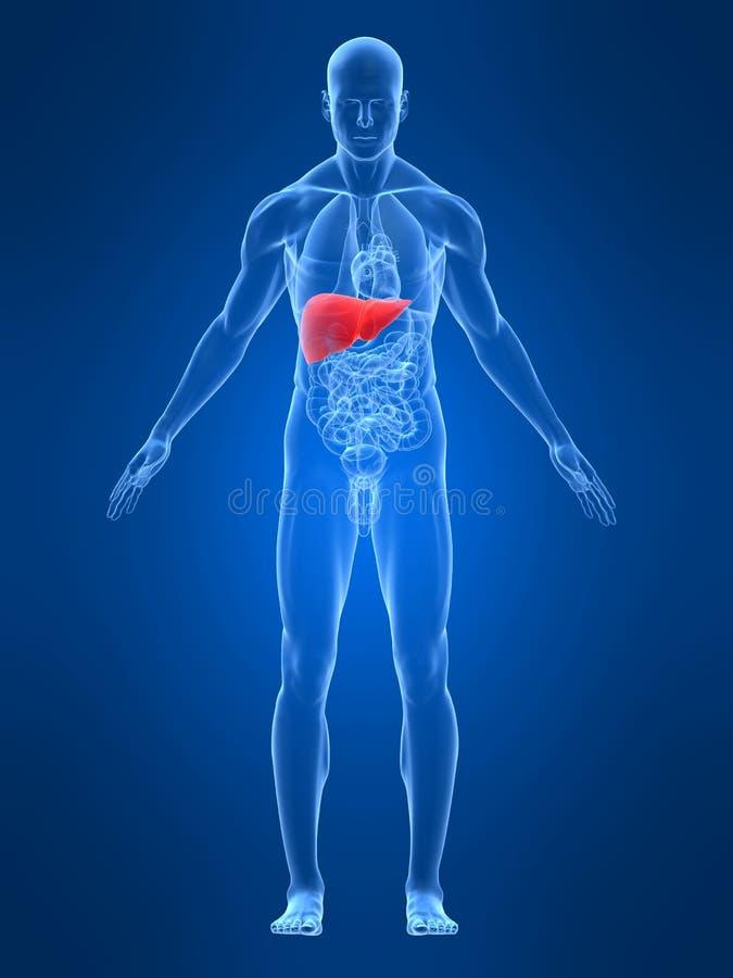 Hígado destacado stock de ilustración