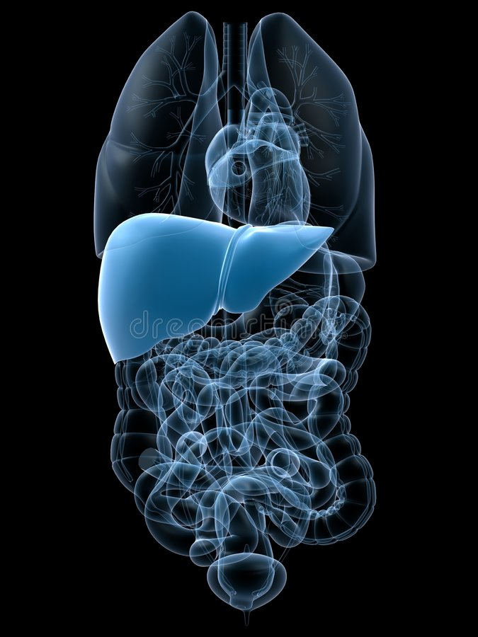 Hígado humano libre illustration