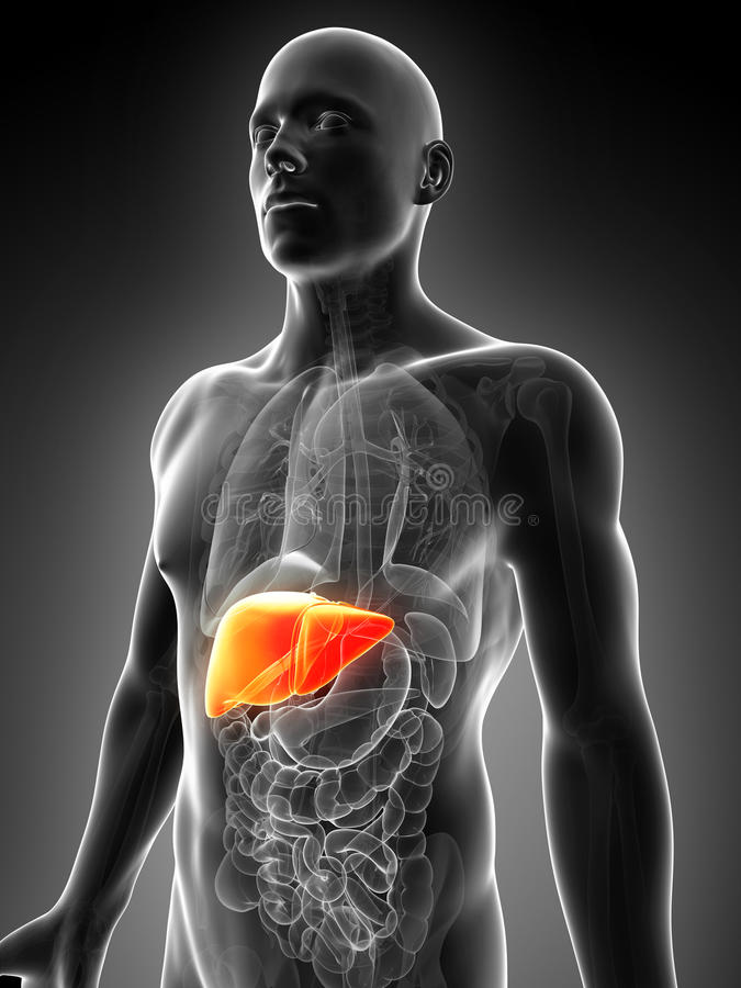Hígado masculino destacado ilustración del vector