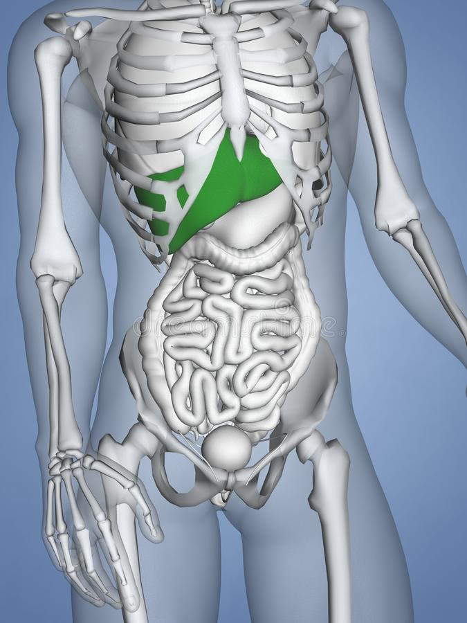 Hígado, Modelo Del Ser Humano 3D Stock de ilustración - Ilustración ...