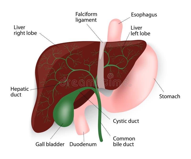 Hígado, Vesícula Biliar, Esófago, Estómago Y Duodenu Ilustración del ...