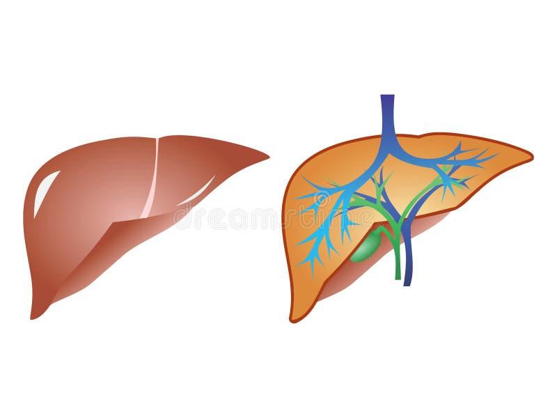 Hígado y vector anaromy de la rozadura ilustración del vector
