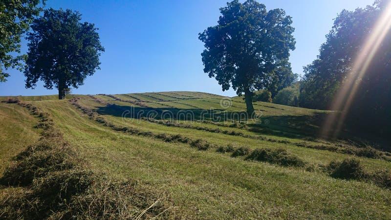 Hö för torrt gräs som väntar för att samlas arkivbilder