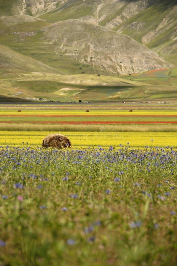 Höbal i blommigt läger i Castelluccio di Norcia arkivfoto