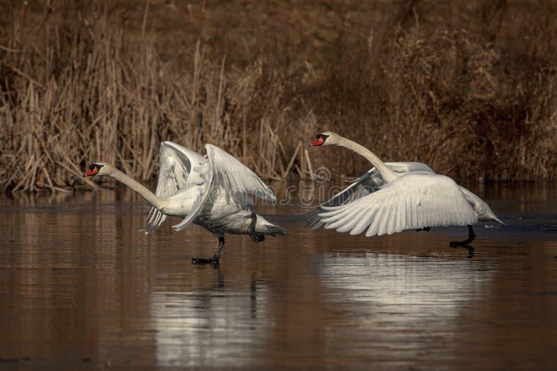 Höckerschwäne, die auf einem Teich laufen stockfotografie