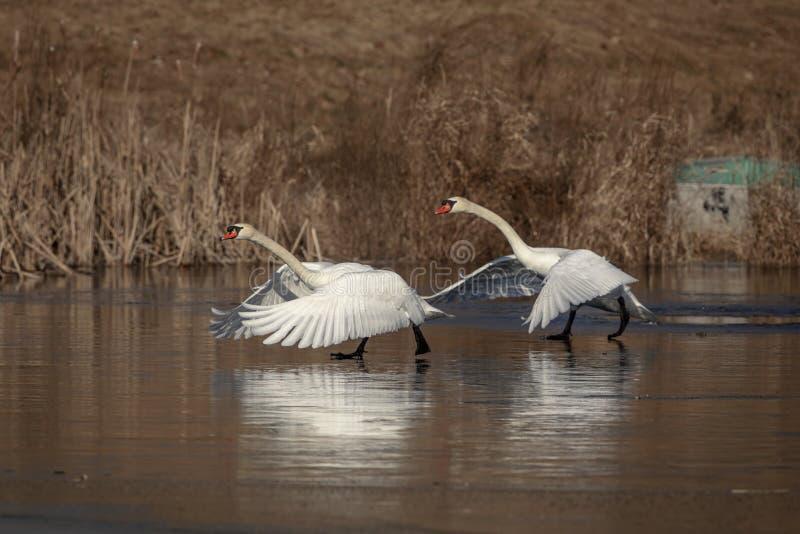 Höckerschwäne, die auf einem Teich laufen stockfotos