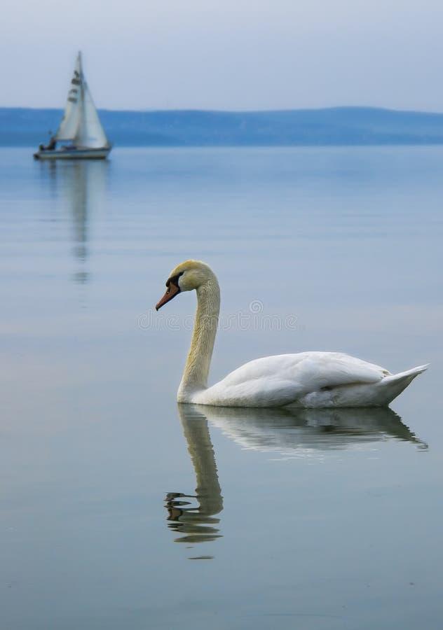 Höckerschwan auf dem See mit Segelboot lizenzfreie stockfotografie