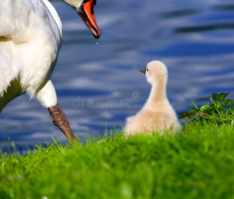 Höckerschwan Cygnet mit Mutter stockfotografie