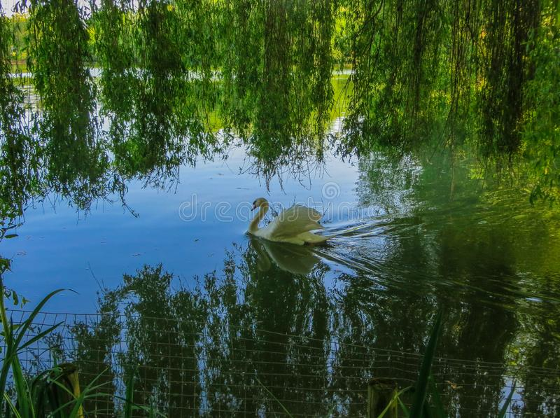 Höckerschwan, der auf grünes Wasser unter Weidenniederlassungen schwimmt lizenzfreies stockbild