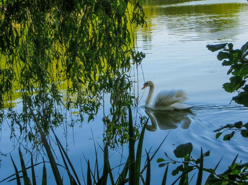 Höckerschwan, der auf grünes Wasser unter Weidenniederlassungen schwimmt stockfotos