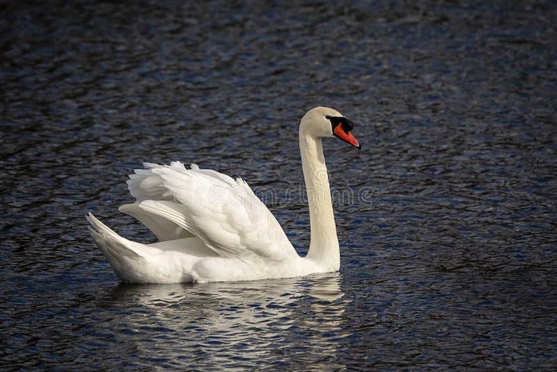 Höckerschwan, der in einen Teich schwimmt lizenzfreies stockfoto