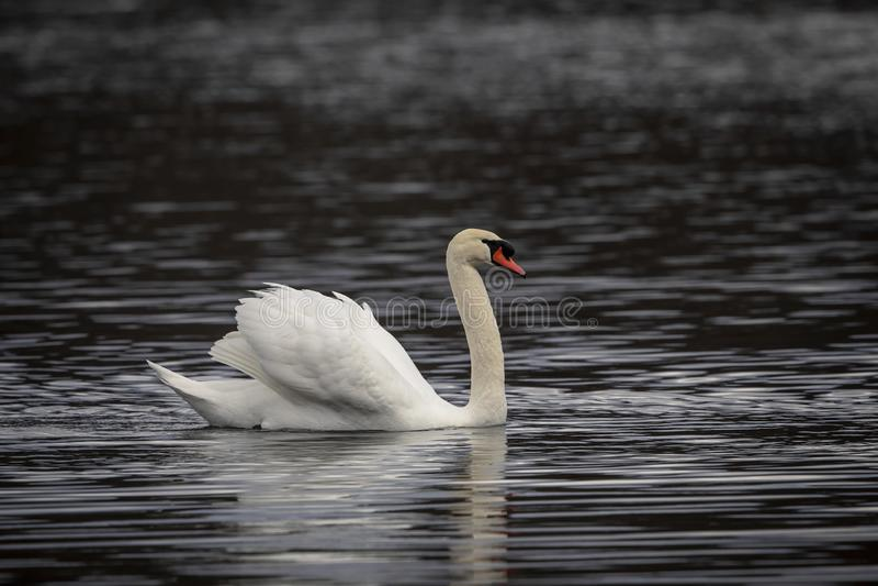 Höckerschwan, der in einen Teich schwimmt lizenzfreie stockbilder
