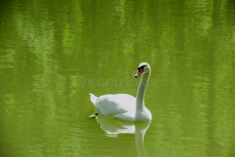 Höckerschwan im grünen Wasser stockbild