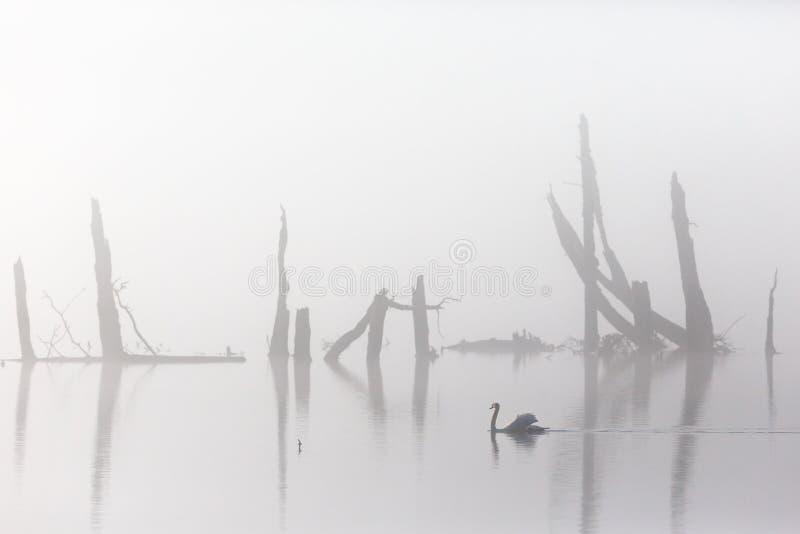 Höckerschwan im Nebel lizenzfreie stockfotos