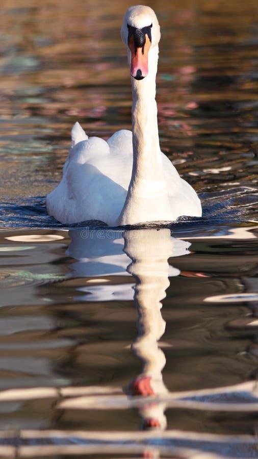 Höckerschwan mit klarer Reflexion im Wasser stockbild