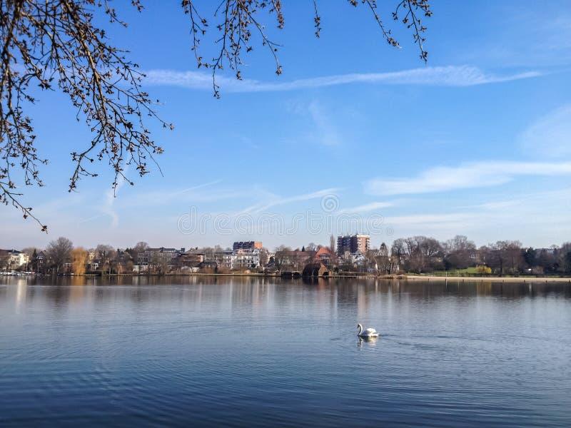 Höckerschwan schwimmt auf ruhigen gemächlichen Fluss lizenzfreie stockfotografie