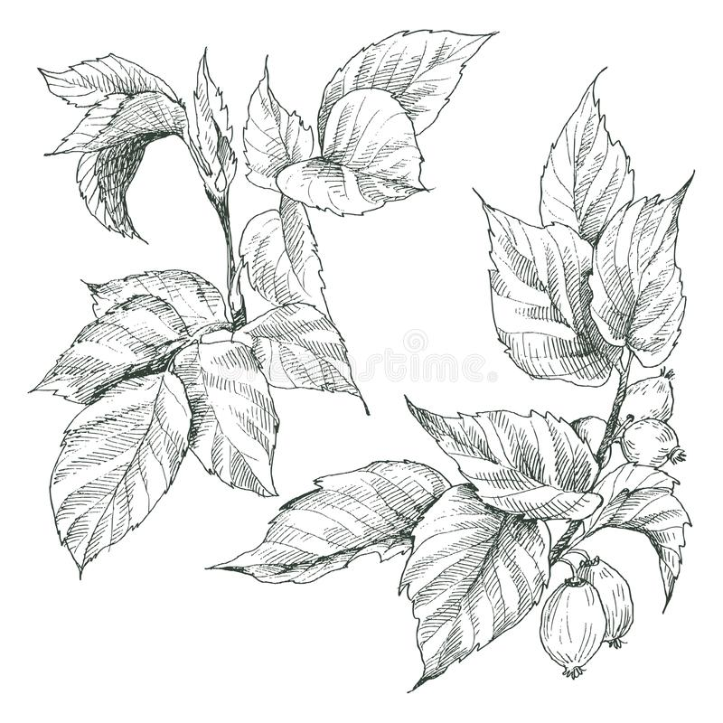 Höft två steg knoppar, bäret och filialer Botanisk inristad illustration för tappning Drog naturliga beståndsdelar för vektor han stock illustrationer