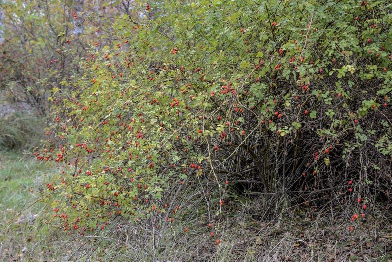 Höftbuske med mogna bär Bär av en dogrose på en buske Frukter av lösa rosor Taggig dogrose höftred steg arkivbilder