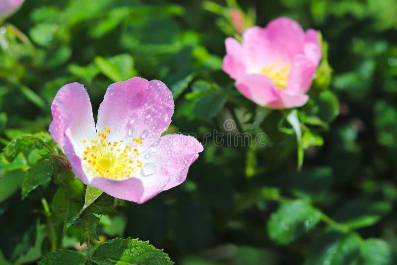 Höfter Rose Flower i solen En blå blomma i små droppar av dagg på en suddig grön bakgrund Växter av ängarna av regionen w fotografering för bildbyråer