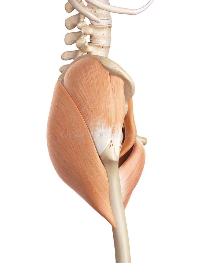 Höftmusklerna vektor illustrationer