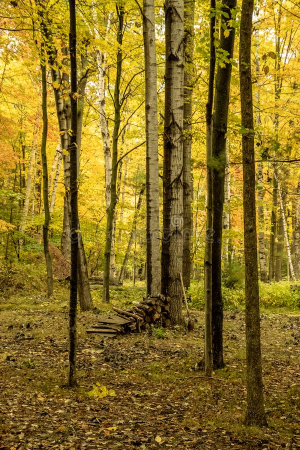 Hög av björkträdet för vedträ och för skyffel tillsammans med i skog arkivfoto