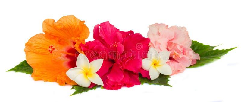 Hög av färgrika hibiskusblommor arkivfoto
