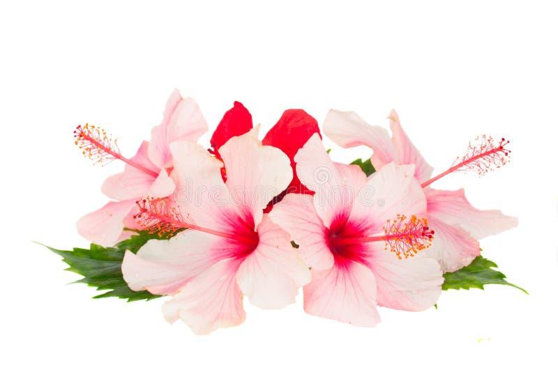 Hög av hibiskusblommor arkivfoton