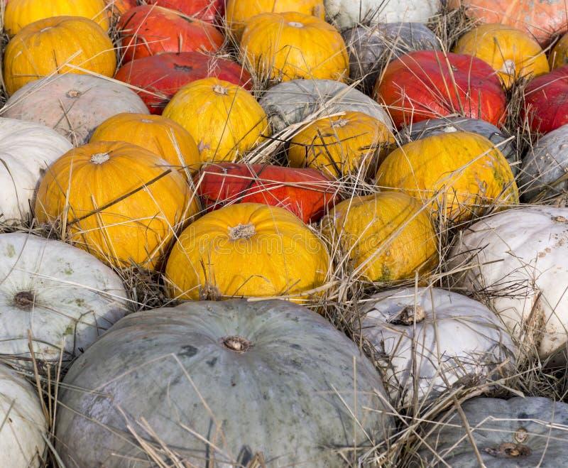 Hög av olika pumpor på tacksägelsefesten bakgrund grönsaker fotografering för bildbyråer