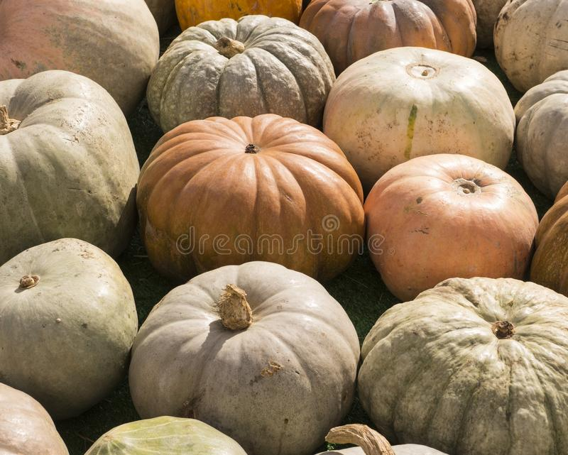 Hög av olika pumpor på tacksägelsefesten bakgrund grönsaker royaltyfria foton