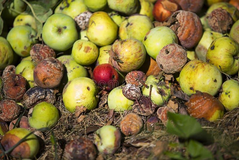 Hög av ruttna äpplen royaltyfri bild