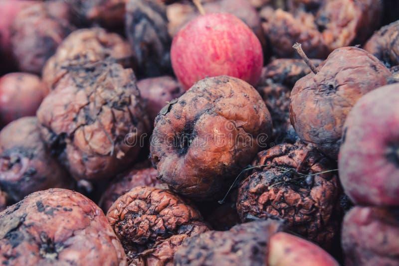 Hög av ruttna äpplen, begreppet av en bortskämd skörd arkivbild