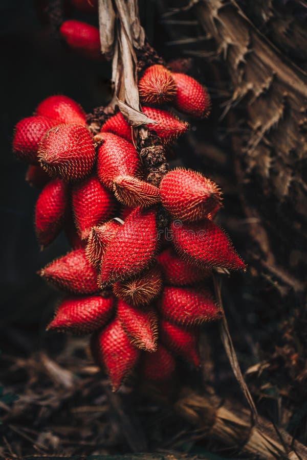Hög av Salak & x28; Salacca zalacca& x29; också bekant som ormfrukt arkivfoton