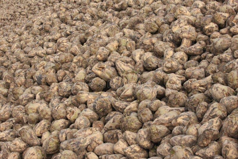 Hög av sockerbetor, når att ha skördat dem från fältet i Moerkapelle, Nederländerna royaltyfri bild