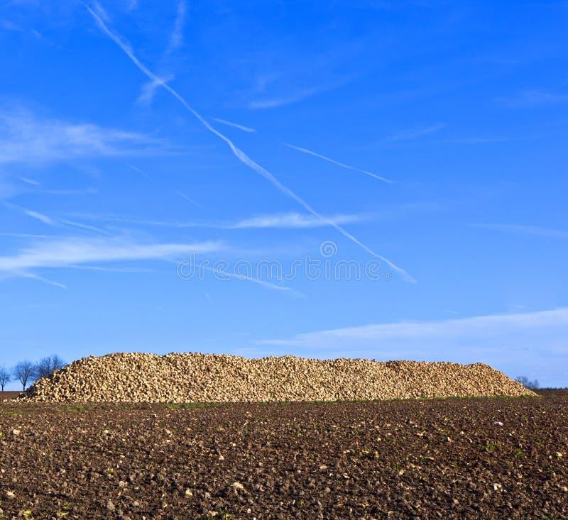 Hög av sockerbetor på fältet fotografering för bildbyråer