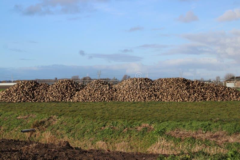 Hög av sockerbetor som torkar i höstsolen på lantgård i Moerkapelle i Nederländerna royaltyfri foto
