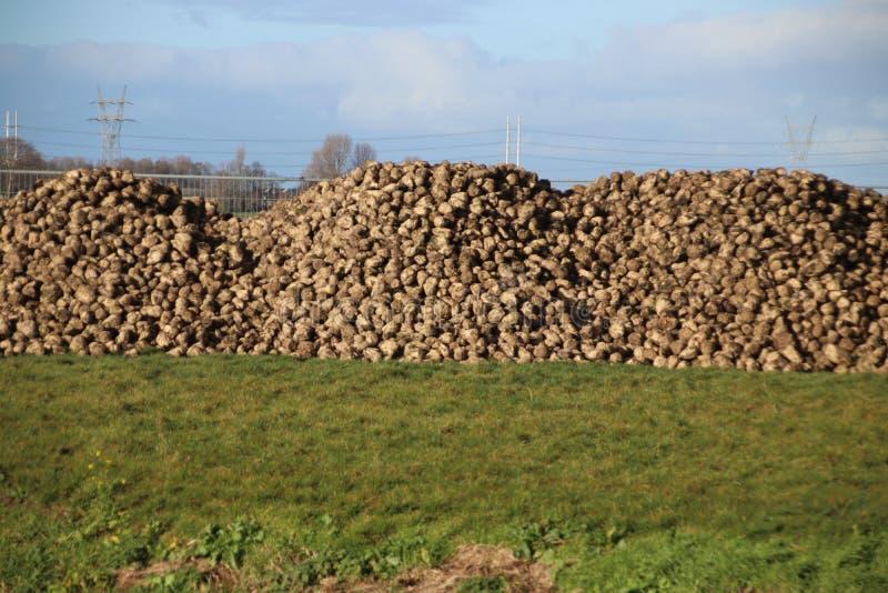 Hög av sockerbetor som torkar i höstsolen på lantgård i Moerkapelle i Nederländerna royaltyfri bild