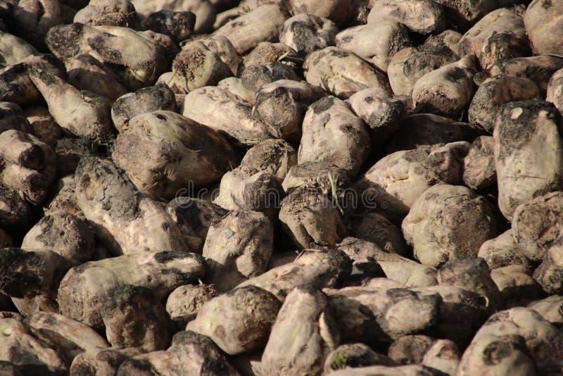 Hög av sockerbetor som torkar i höstsolen på lantgård i Moerkapelle i Nederländerna royaltyfri fotografi