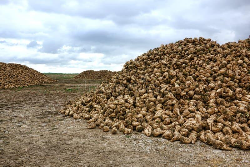 Hög av Sugar Beet Crop i ett fält efter skörd fotografering för bildbyråer