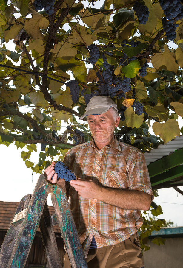 Hög bonde som kontrollerar den nya druvaskörden royaltyfria bilder