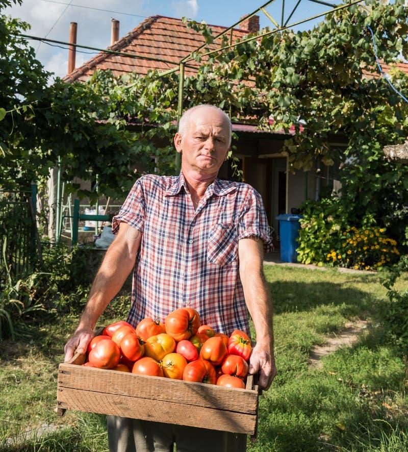 Hög bonde som rymmer nytt skördade tomater arkivfoton