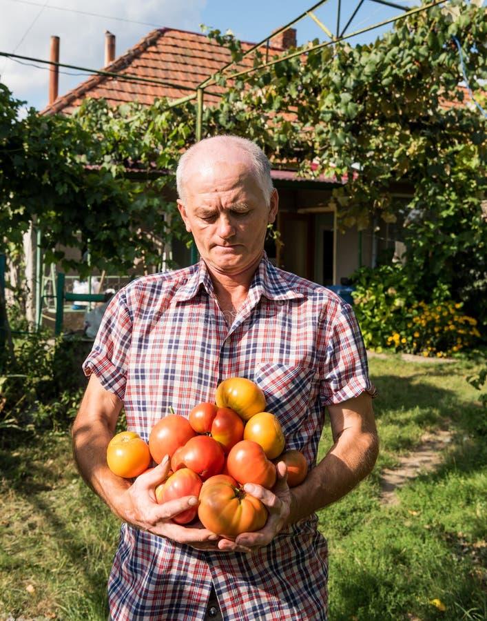 Hög bonde som rymmer nytt skördade tomater fotografering för bildbyråer