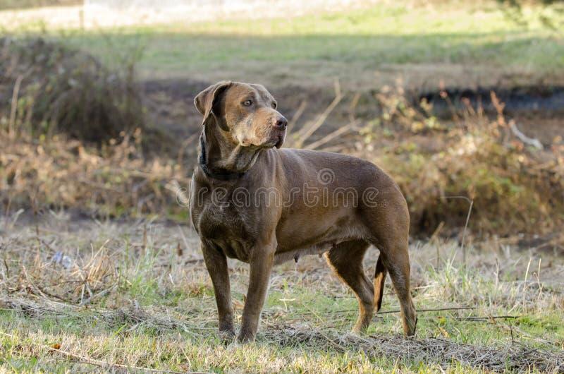 Hög chokladlabradorhund royaltyfri fotografi