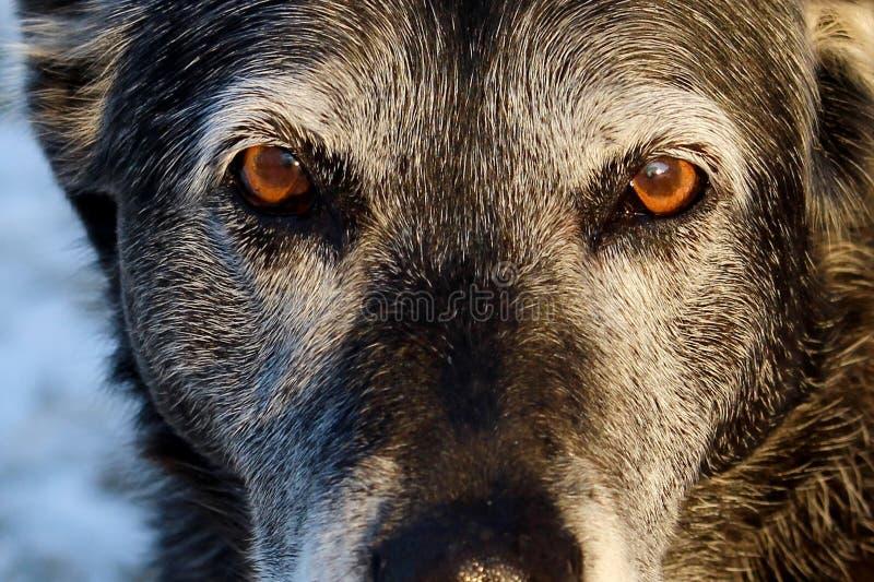 Hög hund som ger allvarlig blick arkivbild