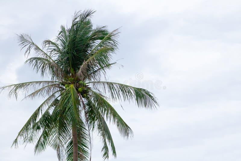 Hög kokosnötpalmträd mot grund för design för flora för utrymme för kopia för paradis för träd för blå himmel en tropisk arkivfoton