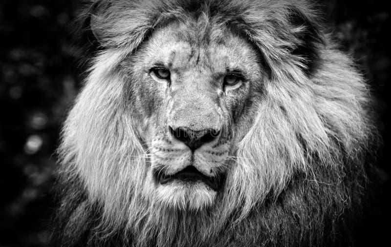 Hög kontrast som är svartvit av en manlig afrikansk lejonframsida arkivbild